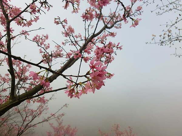 petsyoyo寵遊網-熊空櫻花林