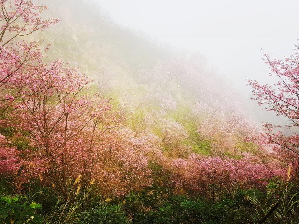 熊空櫻花林