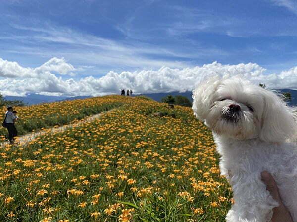 花蓮寵物友善景點-六十石山金針花海
