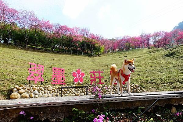 【桃園】位於復興區的山中賞櫻秘境,上千棵櫻花樹盛開時粉成一片的翠墨莊園